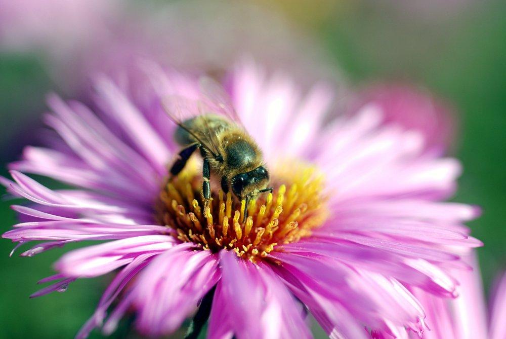Miele api e polline