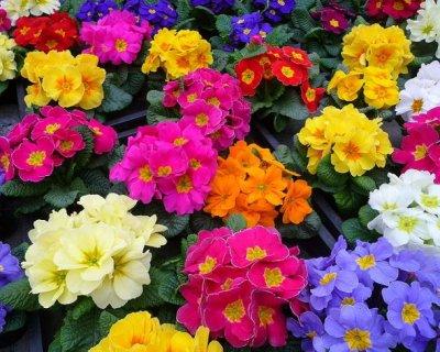 Fiori di primavera for Primule immagini