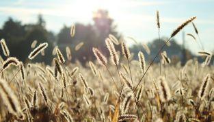 Allergia alle graminacee: sintomi e precauzioni da adottare