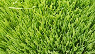 9 proprietà del succo di erba di grano
