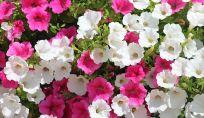 Petunie, i fiori giusti per dare colore a balconi, giardini e terrazzi