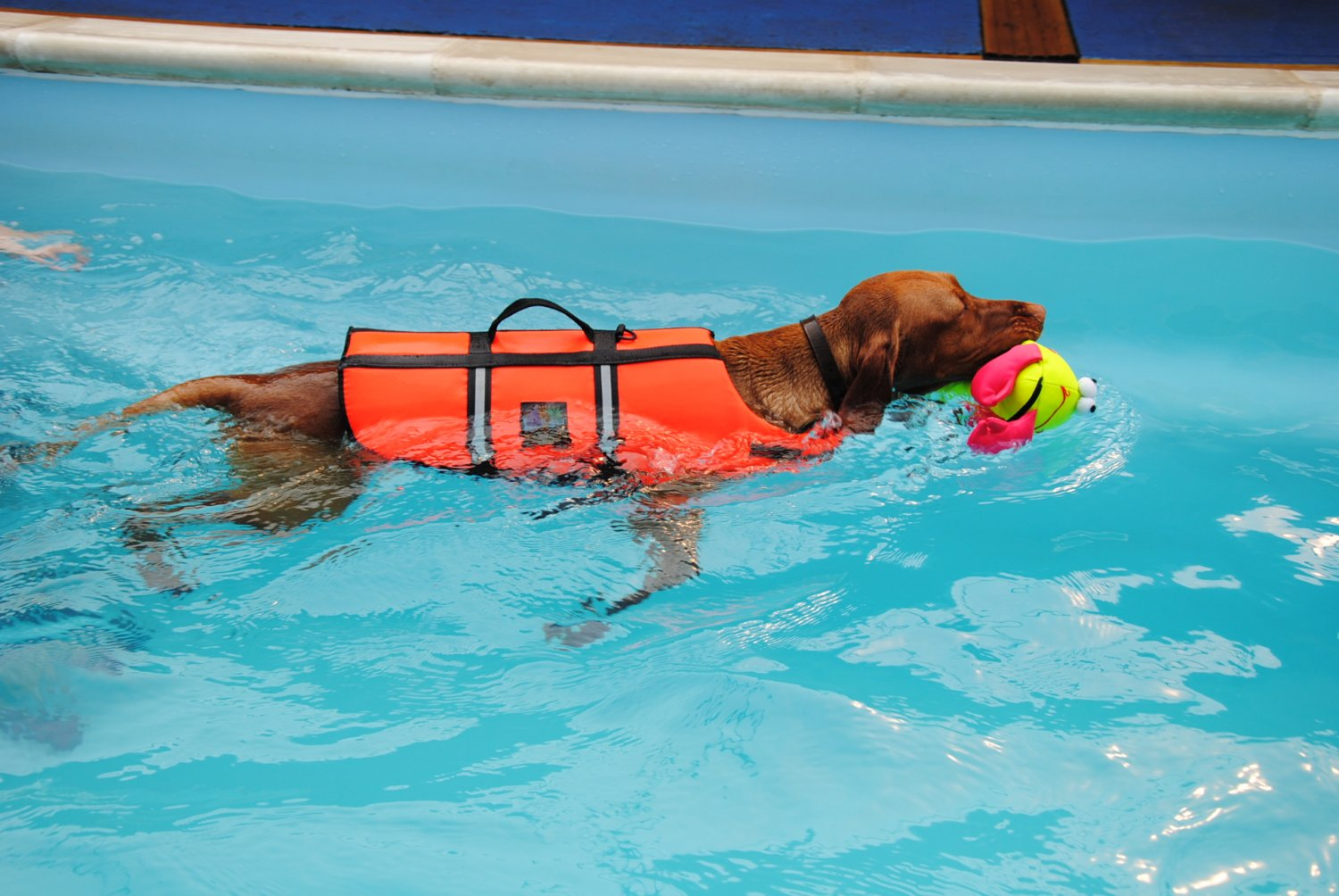 Come insegnare al cane a nuotare for How to train your dog to swim in the pool