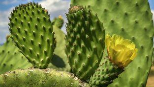Direttamente dal Messico... il massaggio al cactus