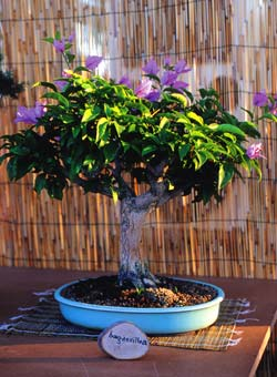 Bonsai bouganvillea
