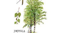 Betulla: albero dalle molteplici qualità erboristiche