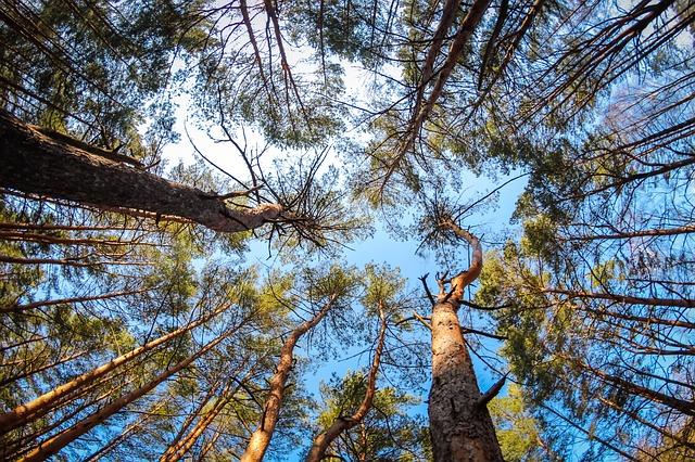L 39 albero pi vecchio del mondo in california for Sinonimo di immaginare