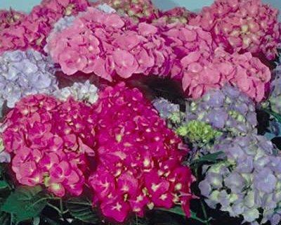 Ortensia: pianta decorativa che fiorisce in estate