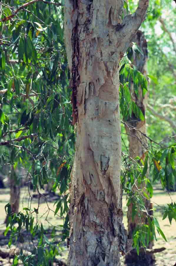 Corteccia tea tree