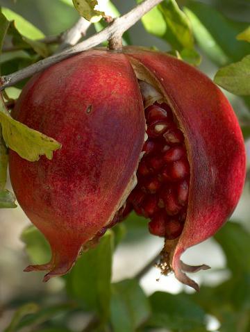 Melograno frutto