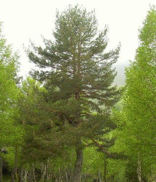 Pino virt e propriet for Variedades de pinos para jardin