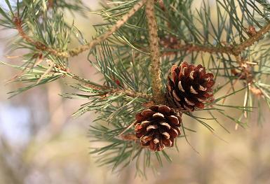 Aghi e pigne del pino