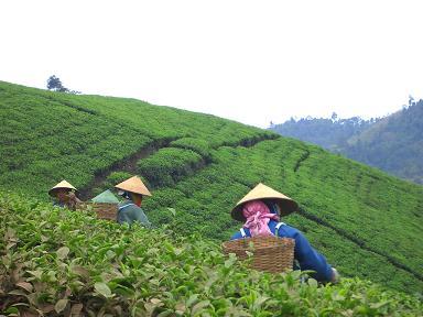 Coltivazione di tè in  Cina