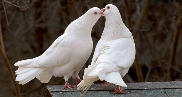 Leggende di San Valentino: i colombi