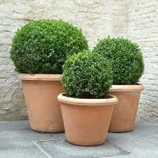 terrazza Vasi disegno : Le sue foglie sono piccole e ovali, lucide e coriacee, non ...
