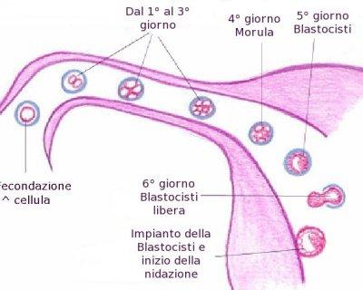 2° settimana di gravidanza