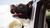 Viaggiare in auto col cane, consigli per una trasferta in tutta sicurezza
