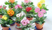 La Gerbera, pianta e fiore di luglio