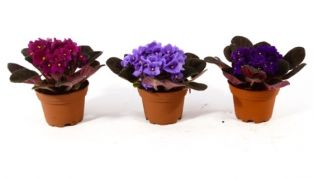 Pianta di agosto: Saintpaulia o violetta africana