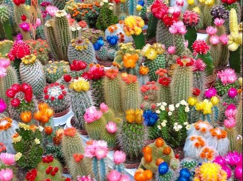 Piante Grasse Cactus E Succulente
