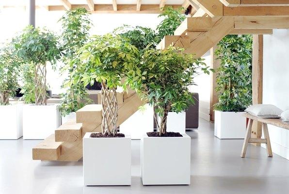 La pianta di settembre la schefflera - Cura dei bonsai in casa ...