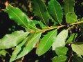 Alloro, pianta aromatica dalle mille proprietà